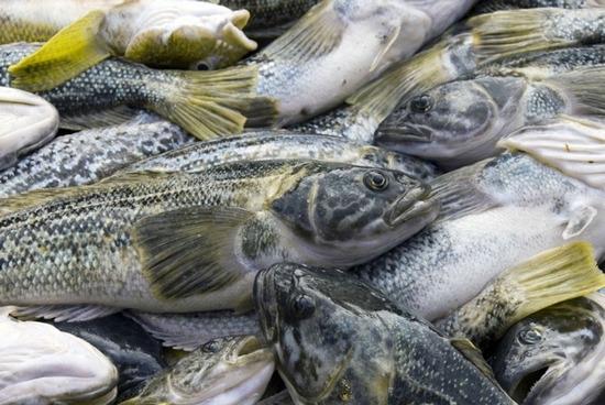 Что за рыба – нототения?