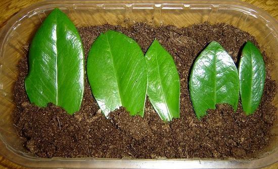 Размножение долларовое дерево уход в домашних условиях 580