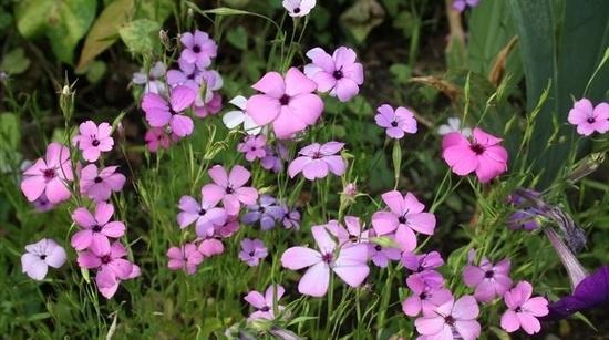 Вискария: выращивание из семян. Фото растения