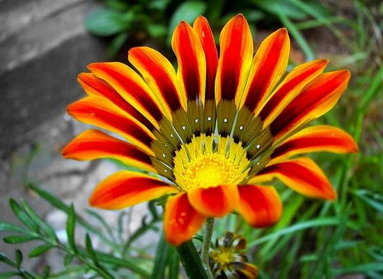 Гарциния уход и выращивание 90