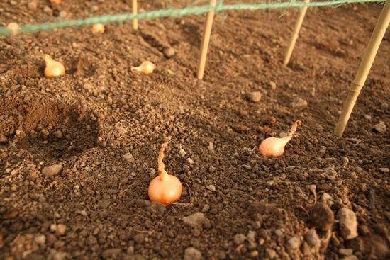 Когда лучше сажать лук на головку весной или осенью 66