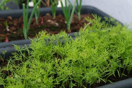 Освещение для выращивания зелени 259