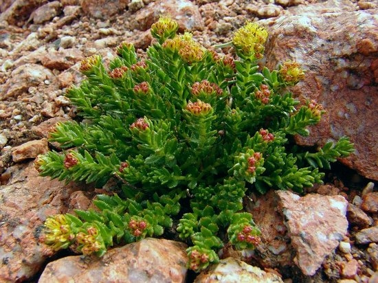 полезные растения для потенции