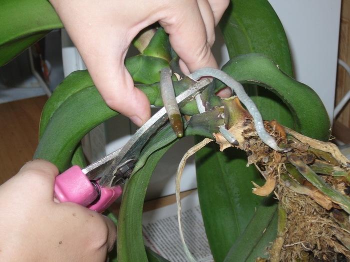 Почему у орхидеи вянут нижние листья