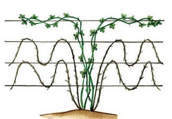 Ежевика выращивание на шпалере 64