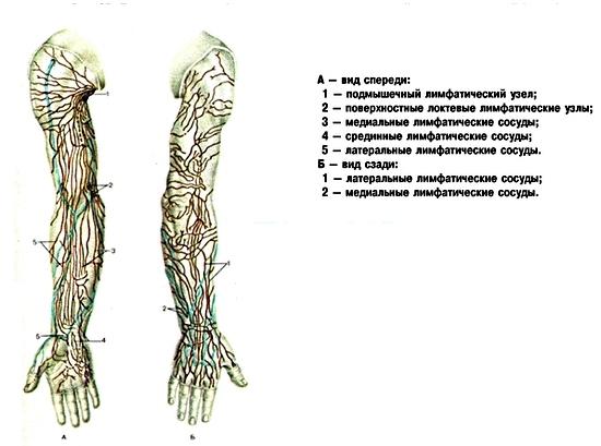 Где находятся локтевые лимфатические узлы?