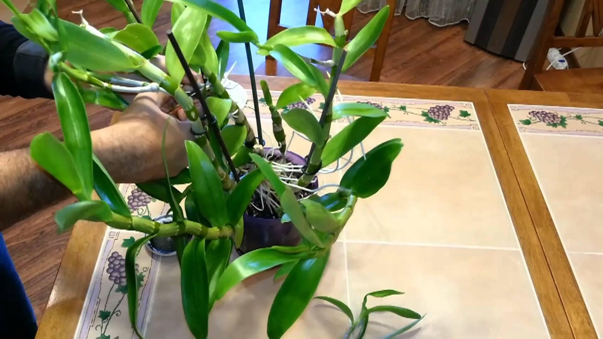 Как разделить орхидею в домашних условиях фото