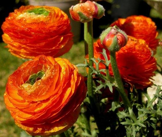 Лютики садовые: посадка, уход, выращивание