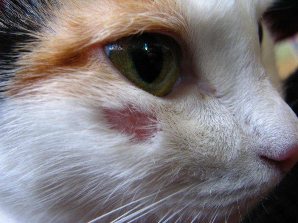 Может ли у домашнего кота быть лишай