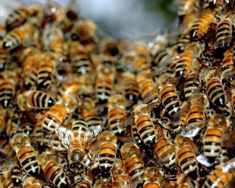 Пчелиный подмор для лечения суставов рецепты уколы гиалуроновой кислоты тазобедренный сустав цена