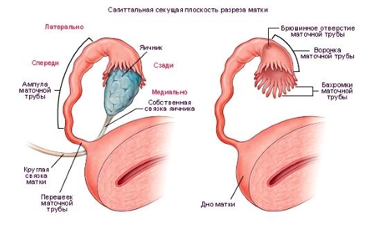 ustroystvo-i-naznachenie-organov-vagini