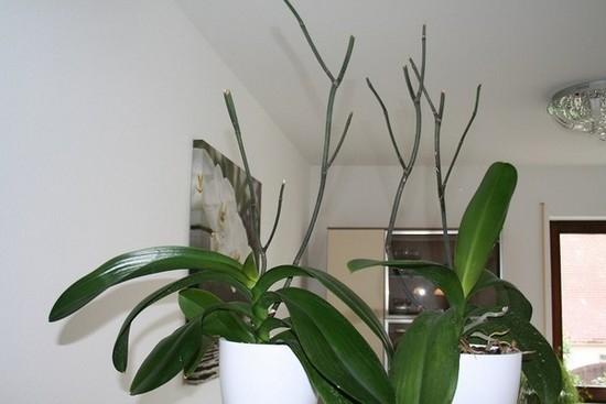 Орхидея уход после цветения в домашних условиях