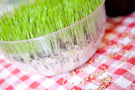 Как в домашних условиях посадить пшеницу в 323