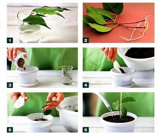 Как размножить фикус в домашних условиях пошагово 33