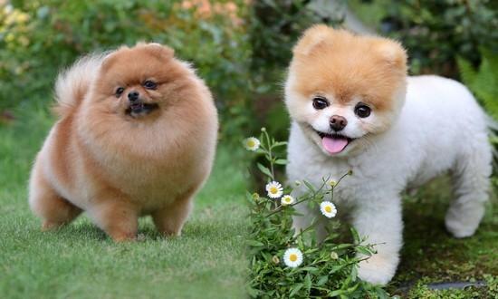 Померанский шпиц - маленькие собаки, похожие на медвежат