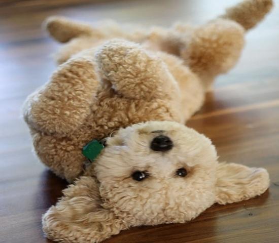 Голдендудль - маленькая порода собак, похожая на медвежонка