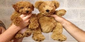 Собака, похожая на медвежонка – порода