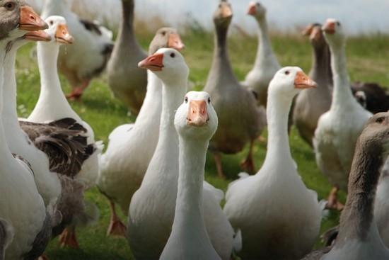 Рентабельность выращивания гусей 47