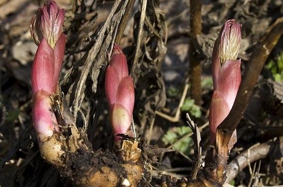 Марьин корінь фото