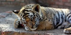 Сонник секс с тигром