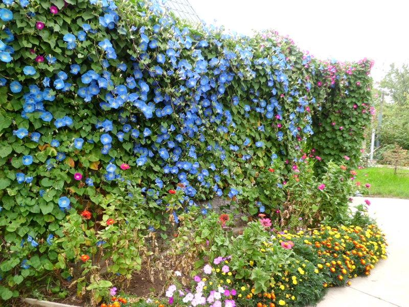 Вьющиеся растения для сада своими руками