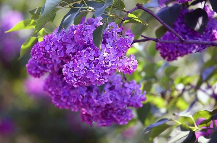 Домашняя лилия в горшке: фото, как 4