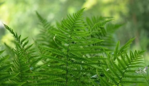 Адиантум радди советуют выращивать в