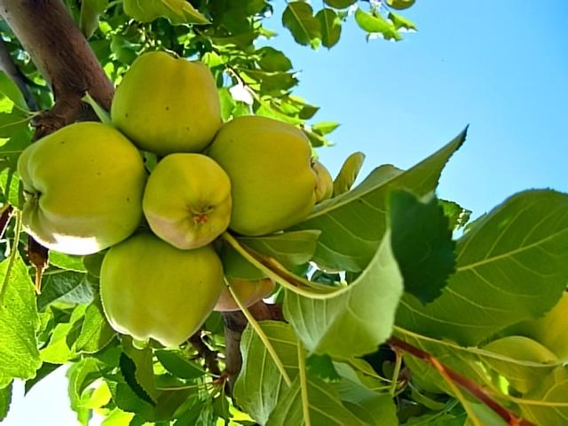 Опрыскивание яблонь после цветения