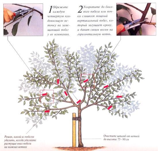 Правильная обрезка вишни и