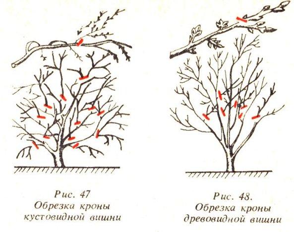 Правила обрезки вишни и