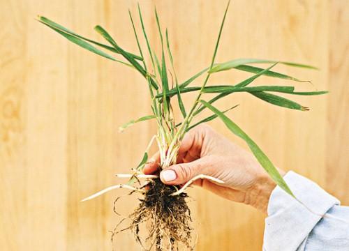 Трава пырей: фото
