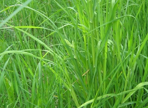 Как выглядит трава пырей фото
