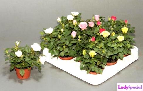 Роза эльвира уход в домашних условиях