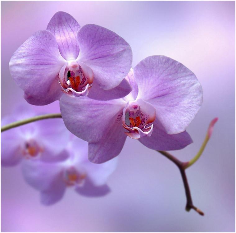 Орхидея ванда в домашних