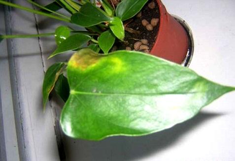 листьев если листья антуриума желтеют ...