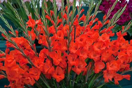 Как выращивать Гладиолусы в саду